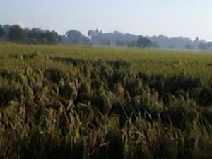 petansi indaramayu gagal panen karena padi kena penyakit pptong leher